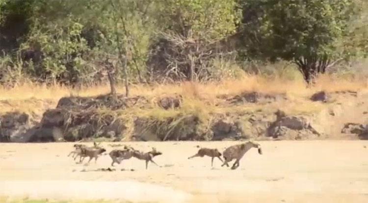Linh cẩu bỏ chạy khi bị đàn chó hoang truy đuổi.