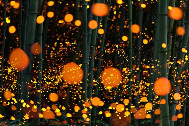 Hình ảnh phơi sáng của đom đóm tại một khu rừng ở Nhật Bản.
