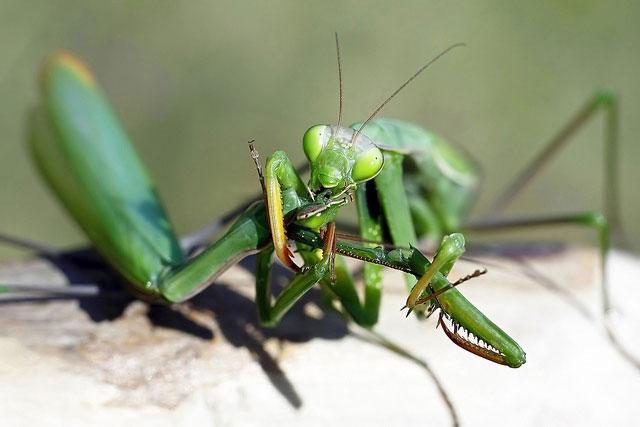 Với những con bọ ngựa sắp chết, quá trình bơm tinh trùng sang con cái sẽ được đẩy nhanh hơn.