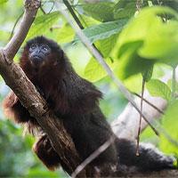 Lần đầu trích xuất thành công DNA loài khỉ bí ẩn ở Jamaica