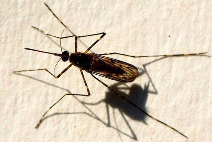 """Muỗi vằn đực Midge thường bị con cái """"lấn át"""" trong quá trình giao hợp."""