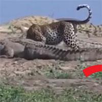 Video: Báo đốm liều lĩnh trộm thức ăn giữa bầy cá sấu