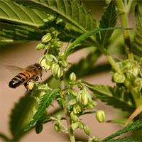 Phấn hoa cần sa ở Mỹ là nguồn dinh dưỡng cho ong