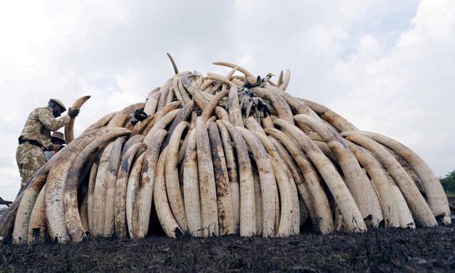 Lực lượng bảo tồn thiên nhiên Kenya chất đống số ngà voi thu giữ được để chuẩn bị tiêu hủy.