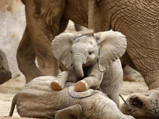 Nạn săn trộm ngà voi đã khiến loài voi phải thích nghi theo một cách cực kỳ đáng ngạc nhiên