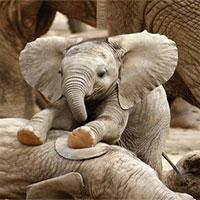 Voi châu Phi đang tiến hóa thành voi không ngà vì bị săn trộm quá nhiều
