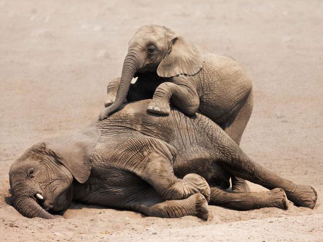 Voi con khóc thương cho voi mẹ đã chết.