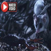 Chuột đụng độ bò cạp kịch độc trong cuộc chiến một mất một còn