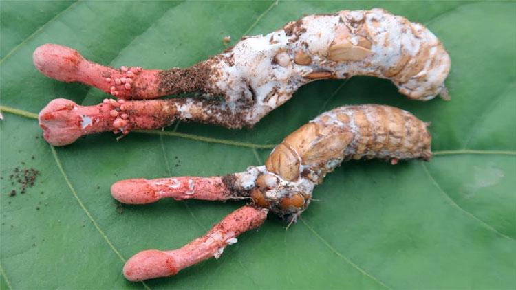 Chất độc có trong nấm Gyrommitrin không hề bị mất đi khi sơ chế, hay đun nấu bằng nhiệt.