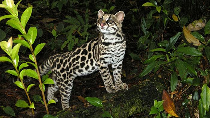 Loài mèo đốm này thường đi kiếm ăn về đêm và thường sống đơn độc.