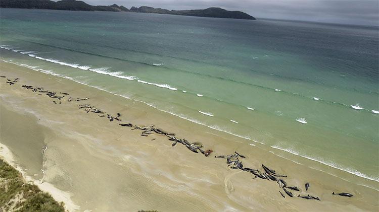Đàn cá voi hoa tiêu 145 con gặp nạn trên bãi biển New Zealand.