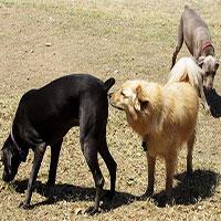 Giải mã hành vi ngửi mông đồng loại kỳ quặc ở loài chó