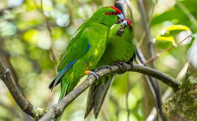 Hai loài vẹt đặc hữu New Zealand là kakariki và kaka cũng được cứu thoát khỏi bờ vực tuyệt chủng