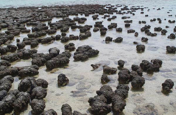 Vi sinh vật trên đá Stromatolite