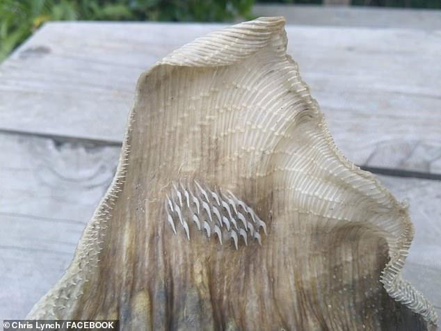 Phần cánh của con vật có nhiều gai nhọn.
