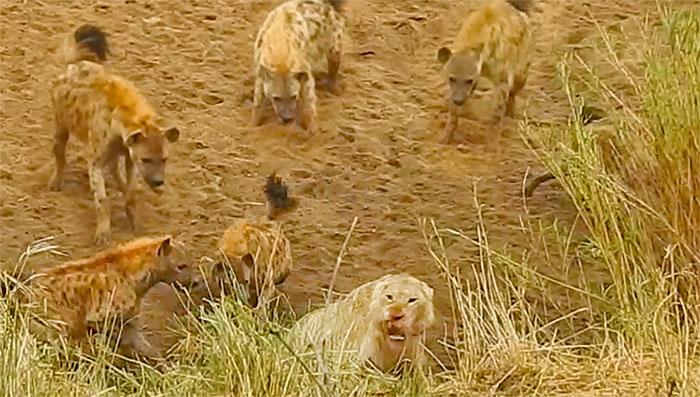 Sư tử bị đàn linh cẩu bao vây tứ phía.