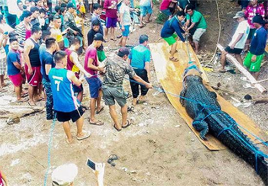 Cá sấu hung dữ, nặng gần 500kg bị người dân địa phương bắt giữ.