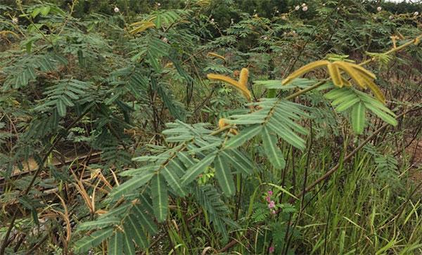 Ở Thái Lan, cây mắt mèo trước đây được trồng với mục đích chống xói mòn