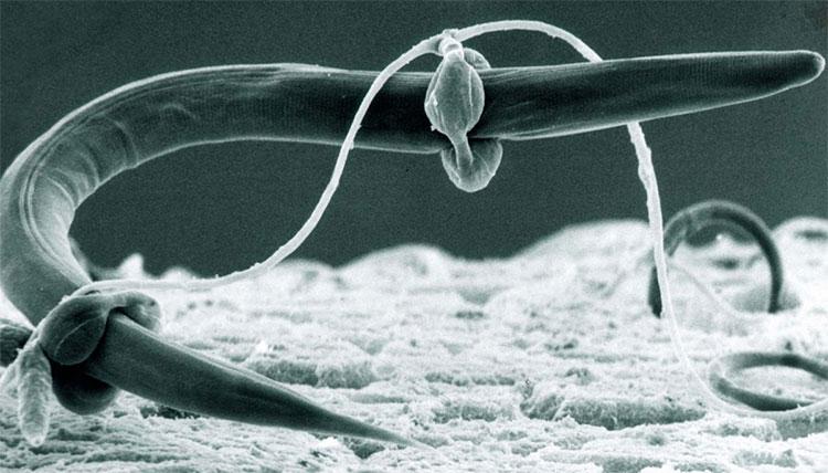 Tơ nấm sò bắt giun tròn.