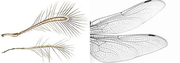 So sánh giữa cánh ruồi tiên (trái) và cánh chuồn chuồn (phải).