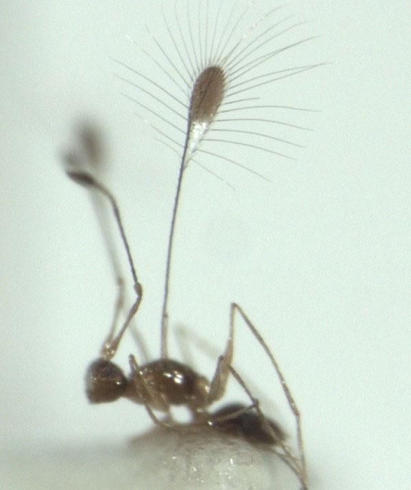 Ruồi tiên thuộc chi Mymar, họ Mymaridae.