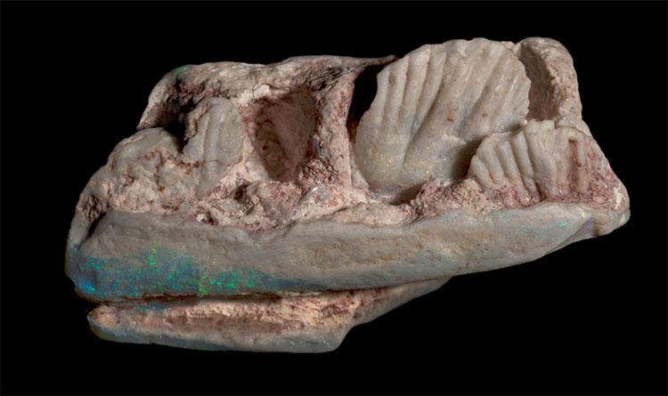 Mẫu hóa thạch được tìm thấy trong xô đá vụn ở Australia.