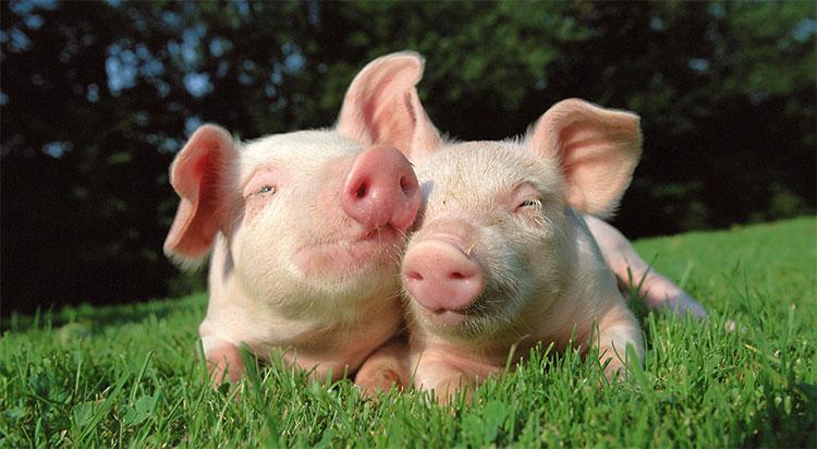 Một ngày không xa những chú lợn này sẽ cung cấp nội tạng để ghép tim cho con người