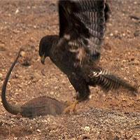 Màn tấn công nhanh như chớp của diều hâu với rồng Nam Mỹ
