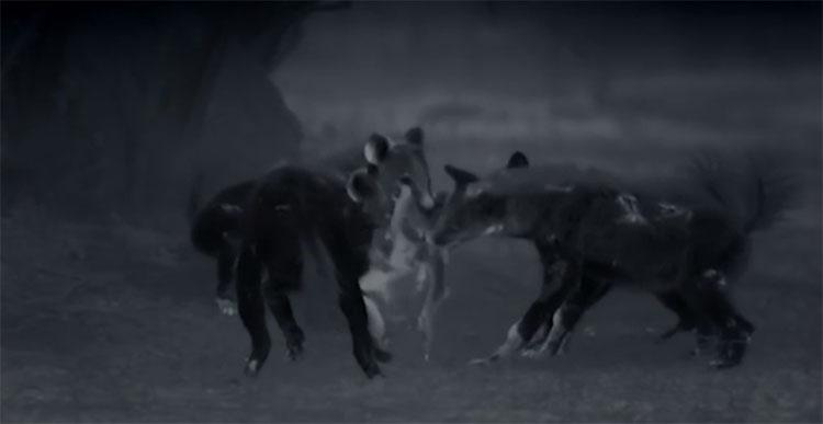 Linh cẩu xé xác chó hoang.