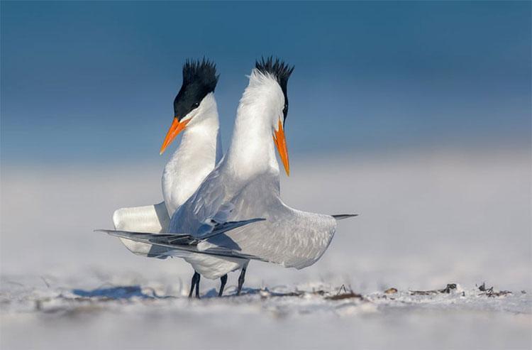 Bức ảnh hai chú chim nhàn hoàng gia đang nhảy tán tỉnh nhau trên bãi biển ở Florida.
