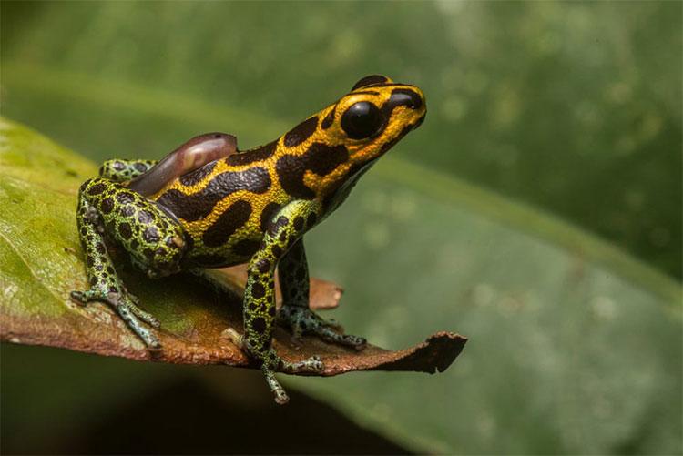 Bức ảnh này ghi lại khoảnh khắc con ếch đực cõng con nòng nọc trên lưng để nhảy vào một hồ nước.