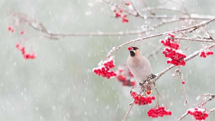 Bức ảnh chim Bombycilla garrulus ăn quả mọng đỏ trong nền tuyết trắng