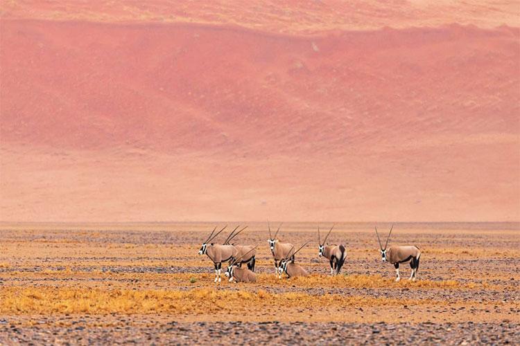 Những con linh dương Oryx đứng trong vùng đất khô cằn ở Namibia