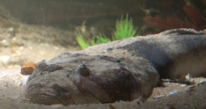 Con cá nhanh chóng dùng vây và đuôi bới cát lên, tự vùi cơ thể xuống dưới.
