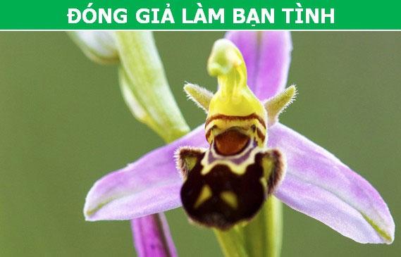 Cây Lan Ong