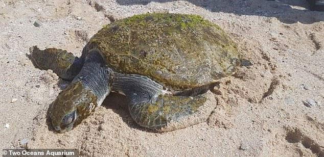 Chú rùa xanh mới dạt vào bờ biển thuộc Cape Town (Nam Phi) thời gian gần đây.