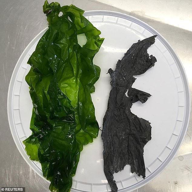 Đây là 2 dị vật trong khí quản của con rùa được các bác sĩ tìm thấy.