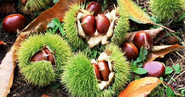 Hạt dẻ bổ thận ích tinh, nuôi dưỡng dạ dày, cầm máu, chữa trị tiêu chảy do tỳ, vị hư hàn.