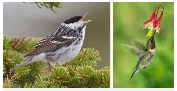 Chim chích Blackpoll (trái) và chim ruồi họng đỏ.