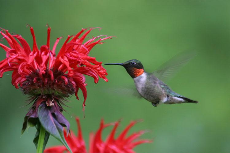 Chim rồi họng đỏ đập cánh những 70 lần/giây trong khi đang bay.