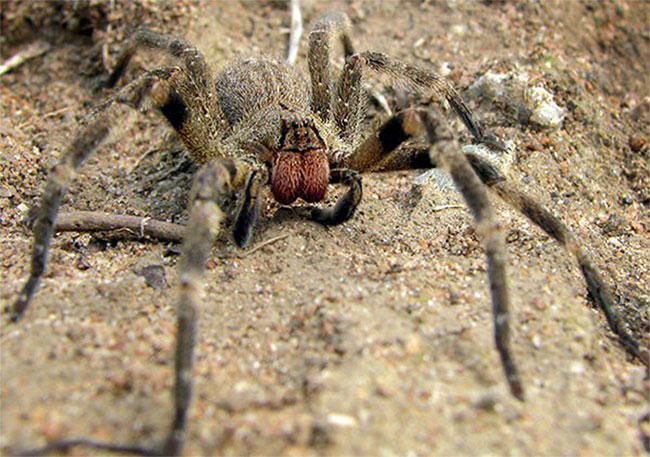 Chất độc của loài nhện này gây ra sự cương cứng kéo dài, có thể lên tới 4h đồng hồ.