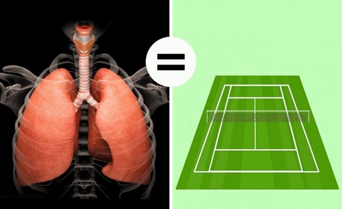 Tổng diện tích phổi người bằng tổng diện tích của sân tennis