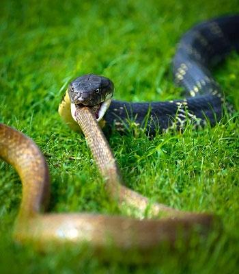 Rắn hổ mang chúa bơm nọc độc và nuốt chửng rắn chuột.