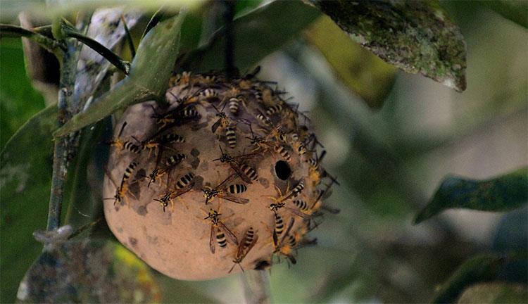 Nọc độc ong bắp cày cực độc ở Brazil có khả năng giúp con người chống lại siêu vi khuẩn kháng kháng sinh.
