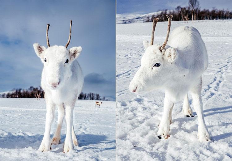 Tuần lộc trắng xuất hiện ở miền bắc Na Uy.