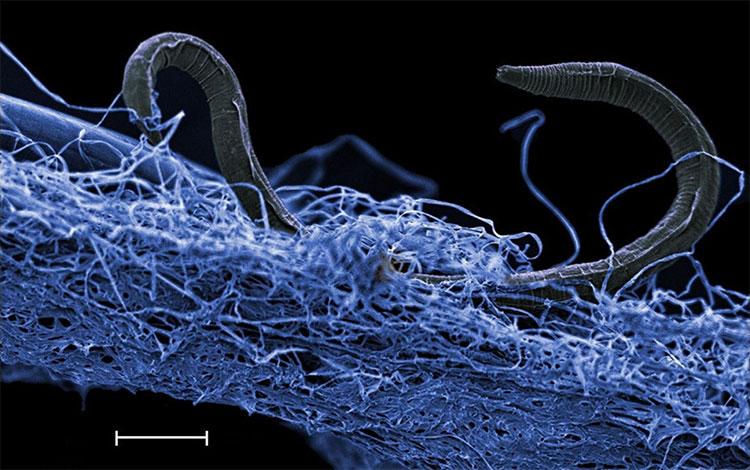Một con giun tròn trong màng sinh học của các vi sinh vật dưới mặt đất