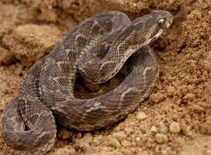 Rắn hổ lục (viper)