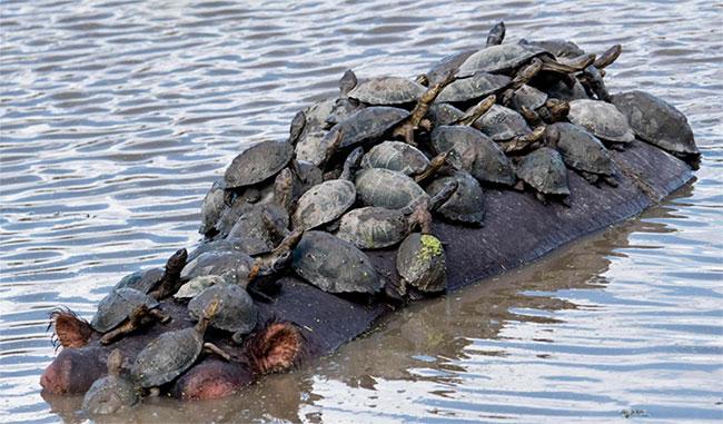 Đàn rùa bò kín trên lưng hà mã.