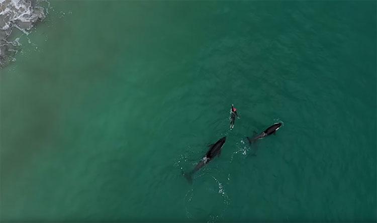 Judie Johnson chạm trán với đàn cá voi sát thủ gần bờ biển Coromandel, New Zealand.