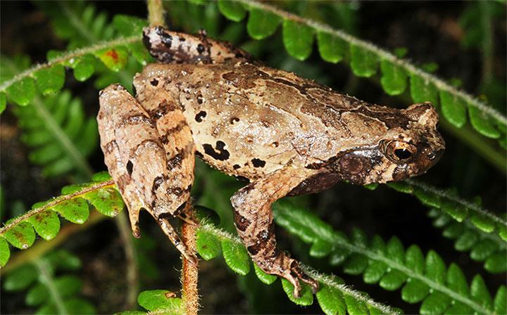 Loài 'Cóc núi tiểu yêu tinh' được các nhà khoa học phát hiện tại Việt Nam.